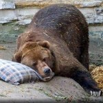 hibernating-bear-150x150